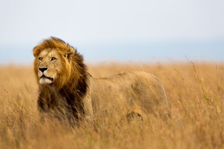 large male lion with determined gaze looking out over the plains