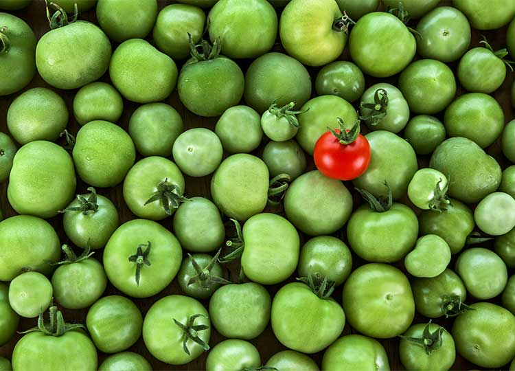 Red Tomato Sitting on Top of a Pile of Green Tomatoes